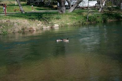 ducks ca