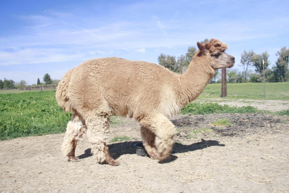 Walking Alpacas - image 9