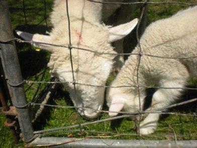 Cornell Sheep