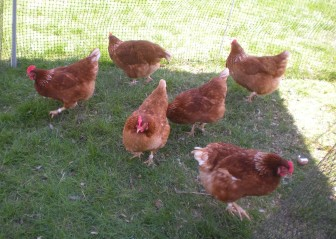Beautiful egg laying hens