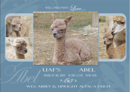 """Welcome sweet Abel!!!! There is a story behind his name... Just last year we lost a beautiful boy named Caine... This little boy that was just born has the same father as Caine and in biblical terms, Abel was the brother of Cain so we found it fitting to name this sweet boy, Abel!! His name also means, ""Breath""...  Upright Alpaca Farm, 2013"