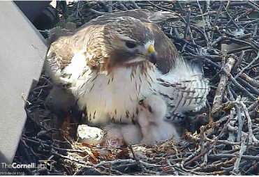 Red Tail Hawk and baby chicks