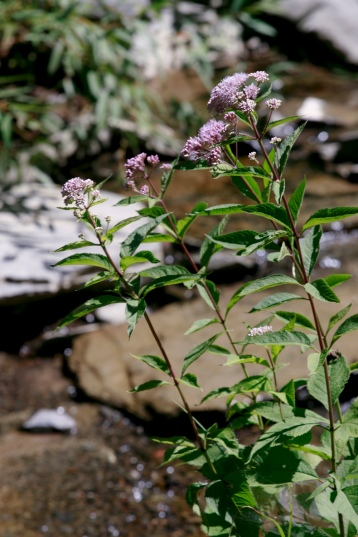 Purple flowers growing on waterbed; Photo Courtesy David Arellanes