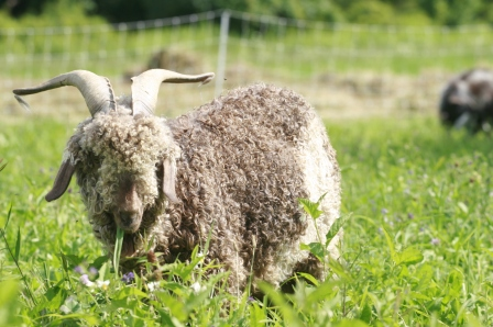 Angora goat grazing; Photo Courtesy David Arellanes