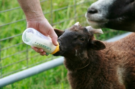 Lamb Butch being bottle fed