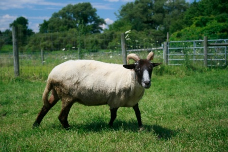 White Hog Island Sheep