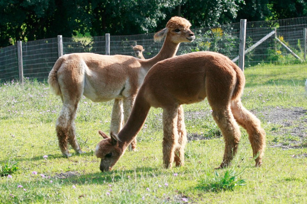 AREA Cria-tions Alpaca Farm; Photo Courtesy David Arellanes
