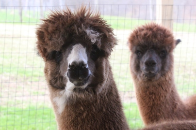 Alpacas at Breezy Hill, Photo courtesy David Arellanes, 2015