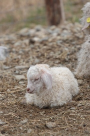 Kid Angora Goat at Blind Buck Angora Goats, Photo courtesy David Arellanes, 2015