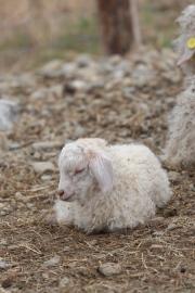 Kid Angora Goat at Blind Buck Angora Goats, Photo courtesy David Arellanes, 2015