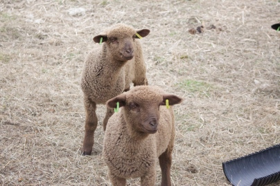 Lambs at Elihu Farm, Photo courtesy David Arellanes, 2015