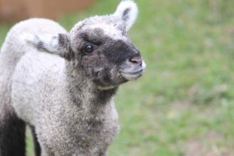 Lamb at Ensign Brook Farm, Photo courtesy David Arellanes, 2015
