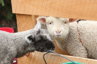 Lambs at Ensign Brook Farm, Photo courtesy David Arellanes, 2015