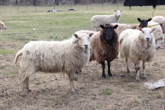 Icelandic Sheep at Moments in Time Creation, Photo courtesy David Arellanes, 2015