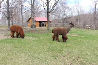 Quarry Ridge Alpacas, Photo courtesy David Arellanes, 2015