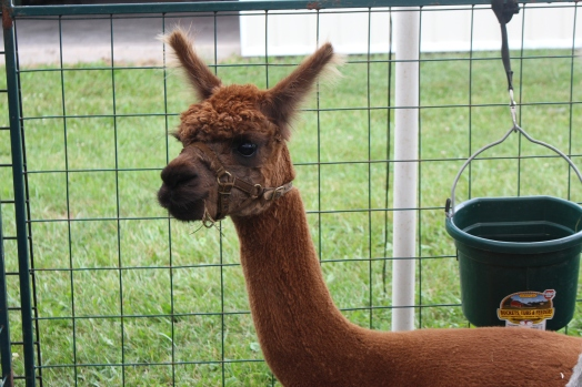 Alpaca during the Empire Farm Days, 2015