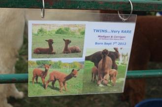 Twin alpacas info, 2015
