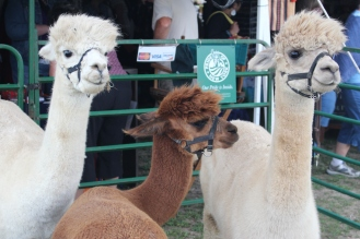 Alpacas from Hemlock Hills Farm, 2015