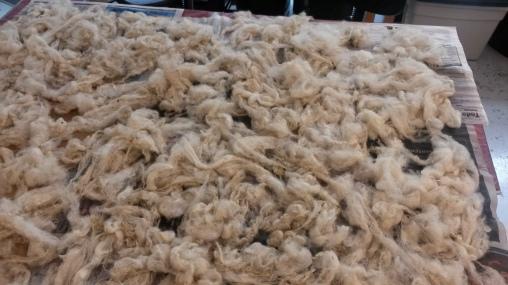 Drying Finnsheep Wool, 2015