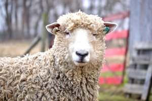 Josie, Lincoln Longwool Sheep, Photo by Emmaline Long