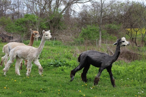 Graceful Alpacas, May 2016