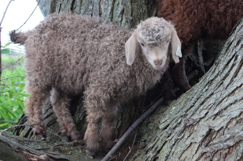 Angora Kid in tree, May 2016