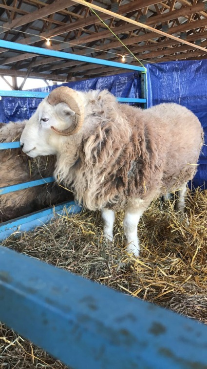 Sheep at NYS Sheep & Wool, 2017